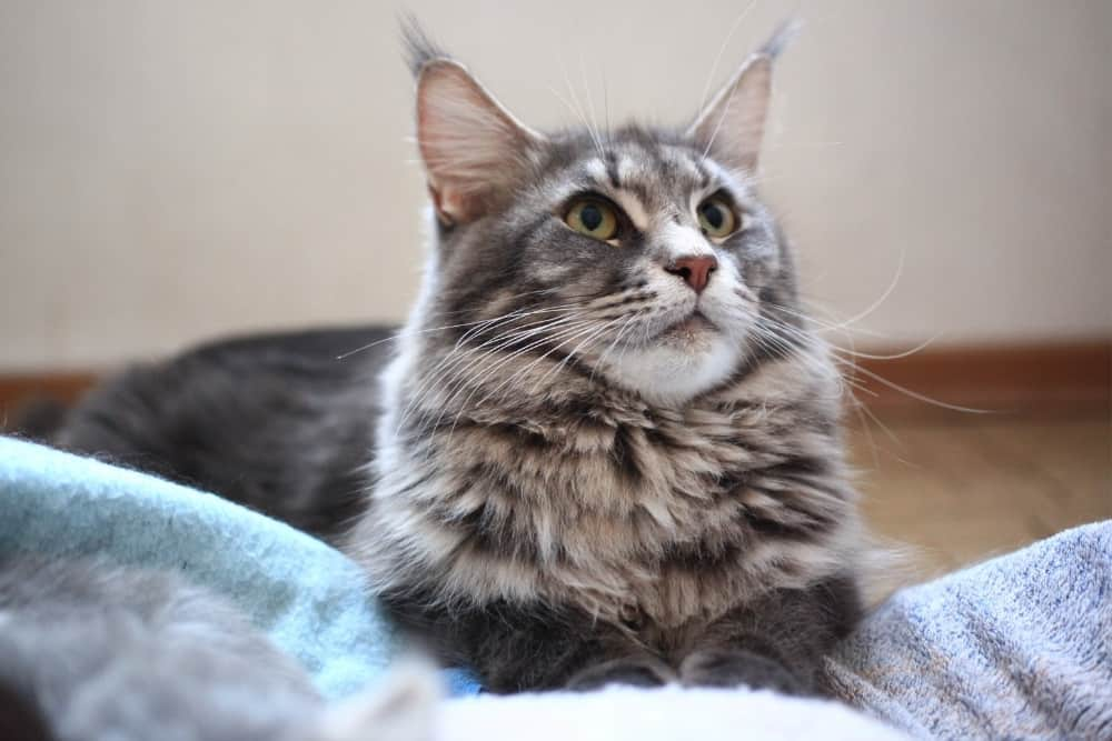 Blue Color Maine Coon Laying On Floor