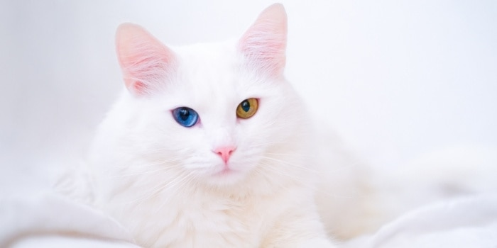 Turkish Angora With Blue And Yellow Eyes